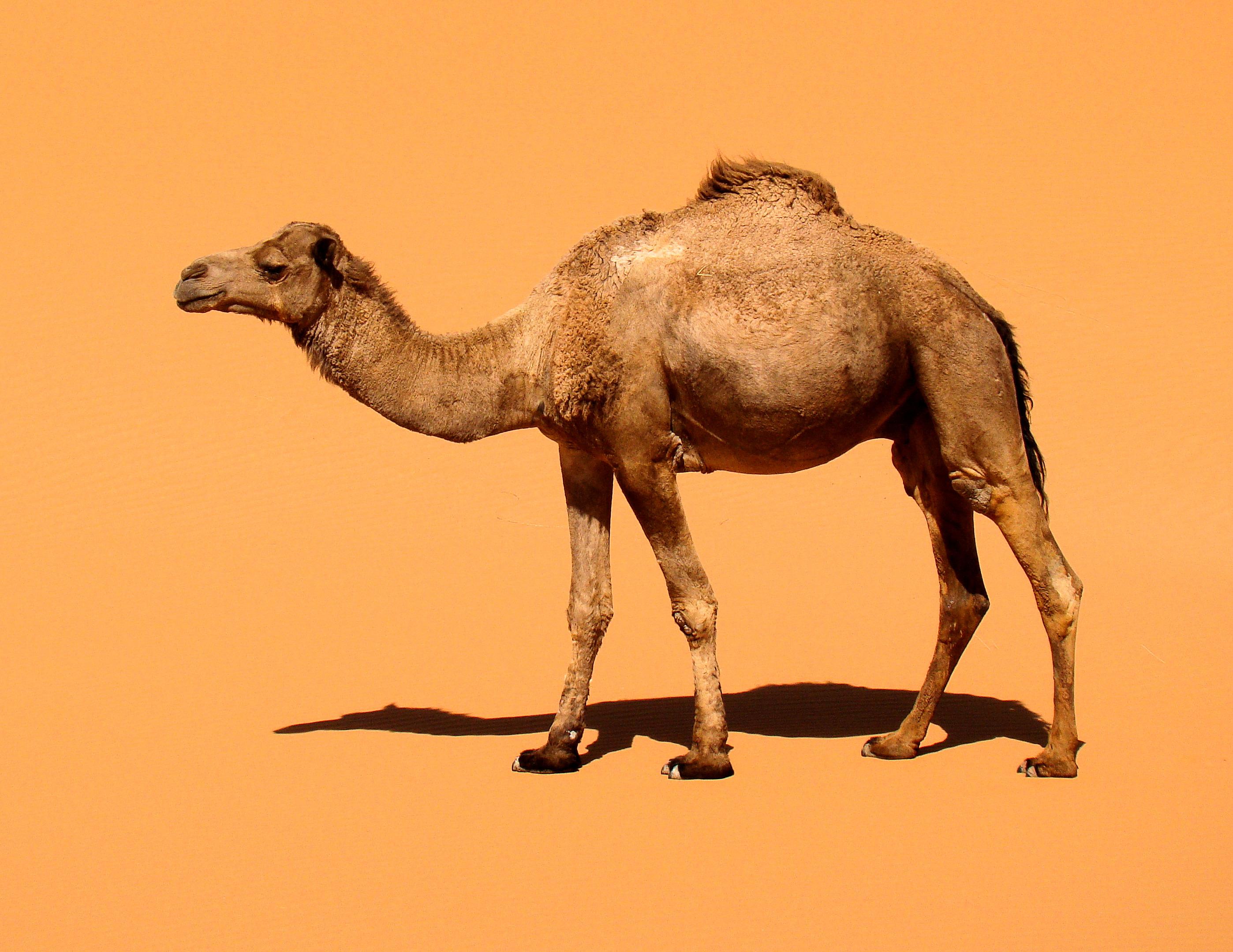 Camel-Dromendary