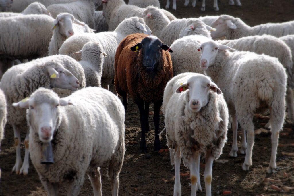 Genesis 30b – Black Sheep